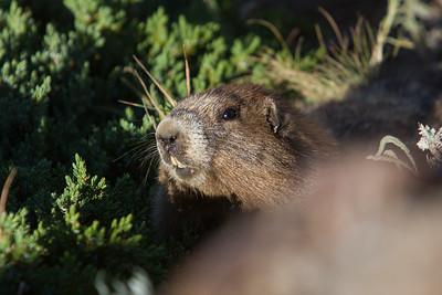 Olympic Marmot