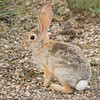 Rabbit in Saguaro National Park