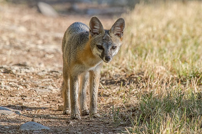Gray Fox (Urocyon cinereoargenteus)