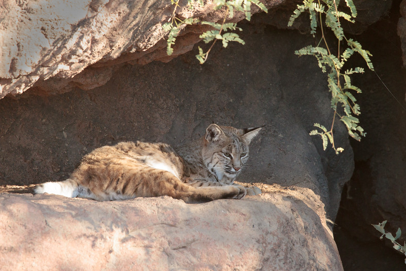 Bobcat at Arizona Sonoran Desert Museum (captive)