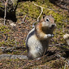 Golden Mantled Ground Squirrel (Callospermophilus laterals)