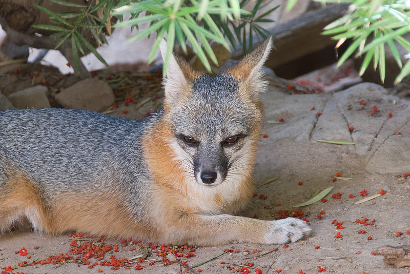 Gray fox at Arizona Sonoran Desert Museum (captive)