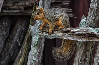 Fox Squirrel (Sciurus niger)