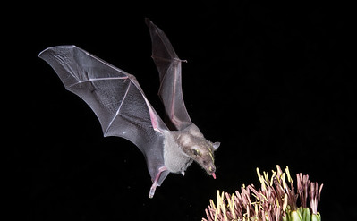 Lesser Long-nosed Bat (Leptonycteris yerbabuenae)