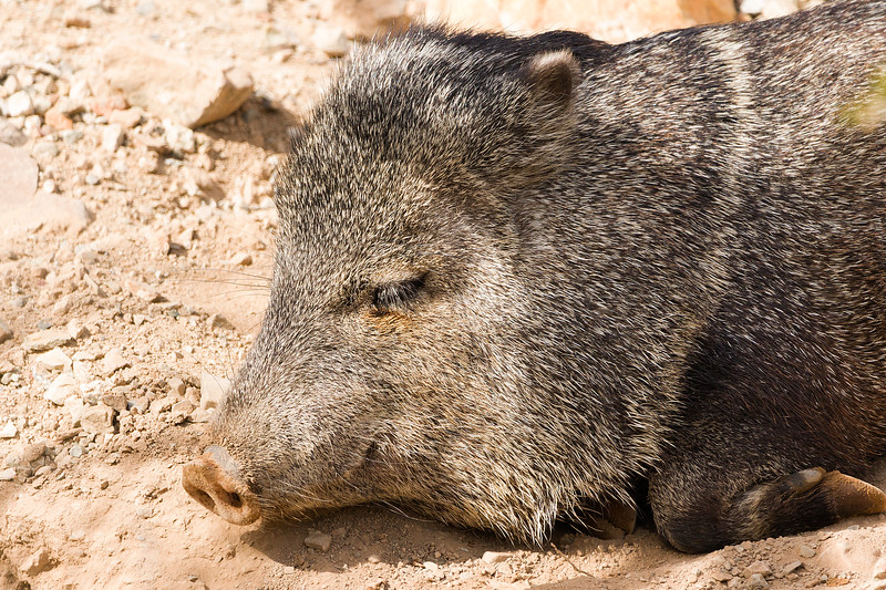Javelina taking a nap at Desert Museum