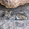 Bobcat at Desert Museum