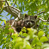 Raccoon_in_Pecan_Tree_SS7640