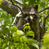 Raccoon_in_Tree_SS7622