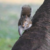 Gray squirrel eats a peanut while sitting on a palm trunk