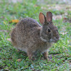 Marsh rabbit in Captiva, Florida