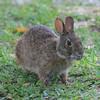 Marsh rabbit in Captiva, Florida