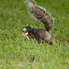 Fox Squirrel with a mushroom