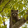 Raccoon_in_Tree_SS7556