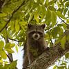 Raccoon_in_Tree_SS7556