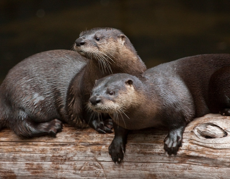 Two otters playing in the waters of Florida