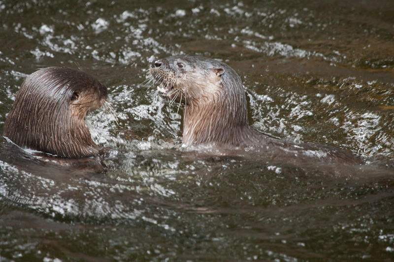 Otters in water_SS3699