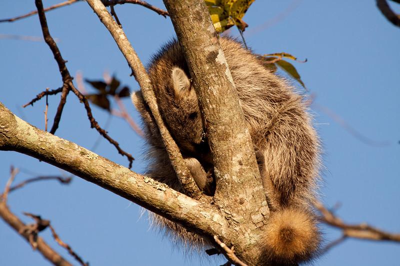 Sleeping Raccoon_SS7801