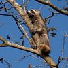 Raccoon_in_Tree_SS7821