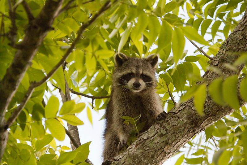 Raccoon_in_Tree_SS7553