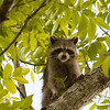Raccoon_in_Tree_SS7553