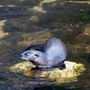 Otter_SS3687