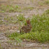 Baby_Cottontail_Rabbit_SS5819