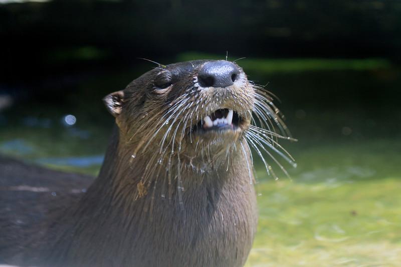 Otter_SS3315