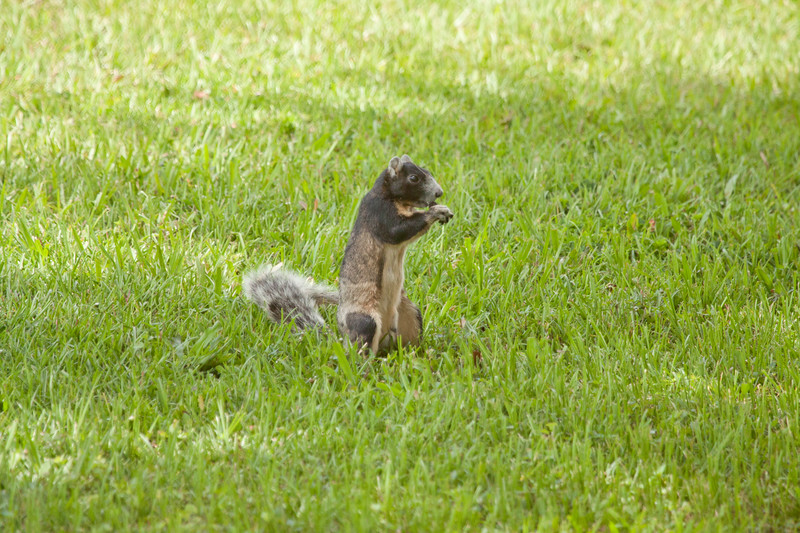 Fox Squirrel with an acorn