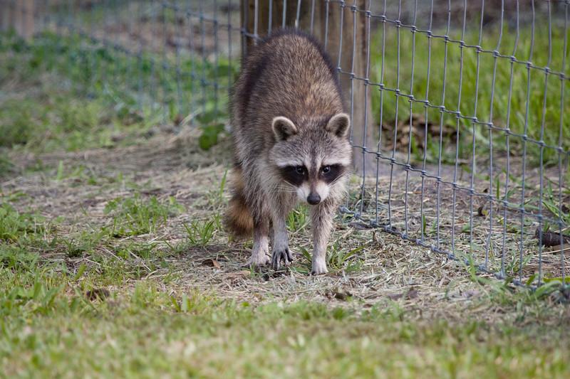 Raccoon_SS7657