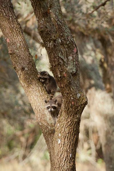 Raccoons_SS8601