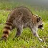 Raccoon_SS7667