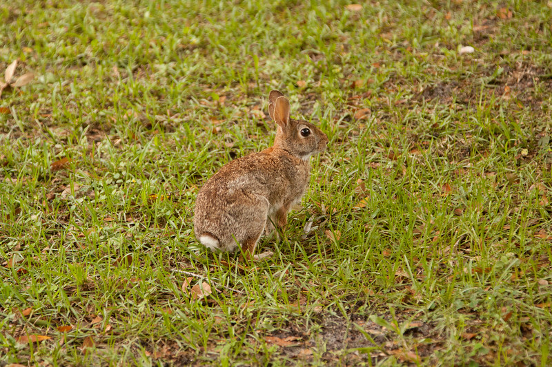 Cottontail_Rabbit_SS5434