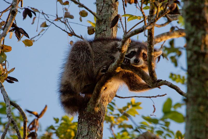 Morning_Raccoon_SS6896