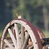 Chipmunk on old wagon_SS9847c