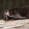 Otter has a piece of fish, or something, caught in its teeth