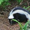 Skunk in the woods