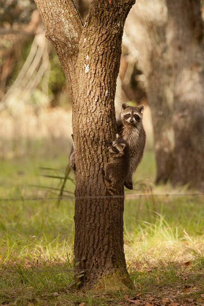 Young_Raccoons_SS8577