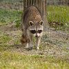 Raccoon_by_Fence_SS7656