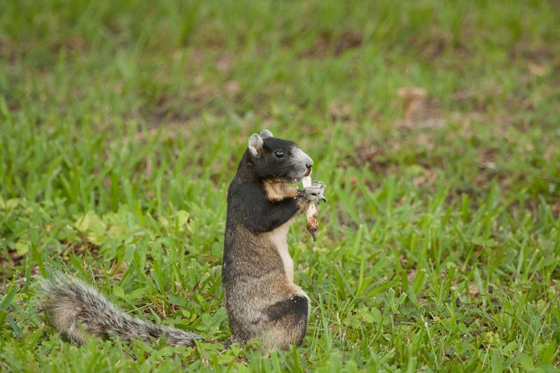 Fox Squirrel with a mushroom