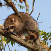 Raccoon_in_Pecan_Tree_SS6928