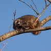 Raccoon_in_Tree_SS7860