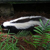Skunk in the woods