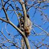 Sleeping Raccoon_SS7816