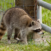 Raccoon_SS7661