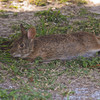 Marsh rabbit stretches out to rest