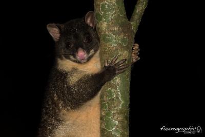 Short Earred Possum