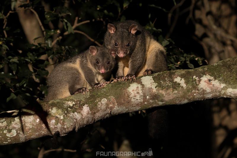Short-eared Brushtail Possum