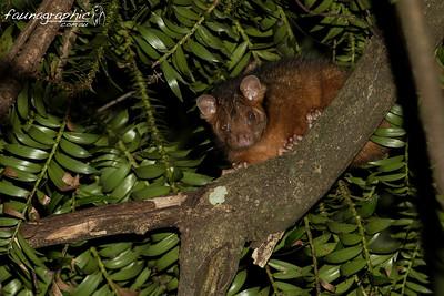 Bunya Mountains Ring Tailed Possum
