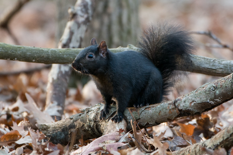 Eastern Grey Squirrel (black phase)