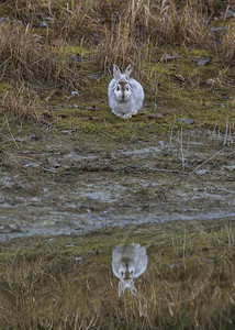 Rabbit Reflected Front Facing View